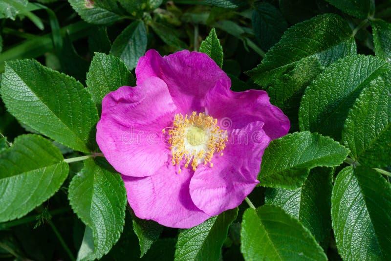 Schöne rosa Hagebuttenblume drau?en lizenzfreie stockbilder