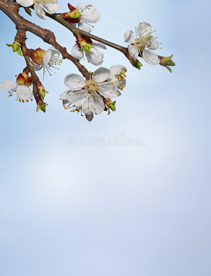 Schöne rosa Kirschblüte auf einem blauen Hintergrund stockfotos