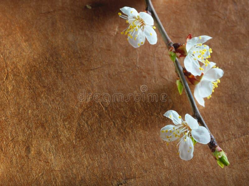 Schöne rosa Kirschblüte auf einem braunen Hintergrund stockbild