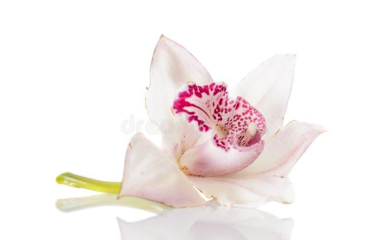 Schöne rosa Lilie stockfotografie