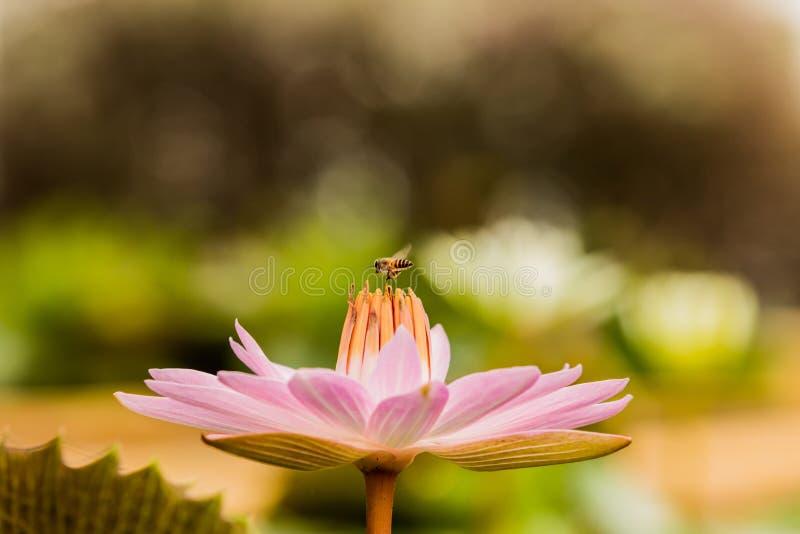 Schöne rosa Lotosblume mit der Biene, die Honig vom Stempel sammelt lizenzfreies stockfoto