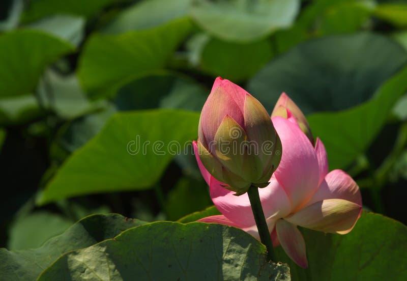 Schöne rosa Lotosknospen in der Natur stockfotografie