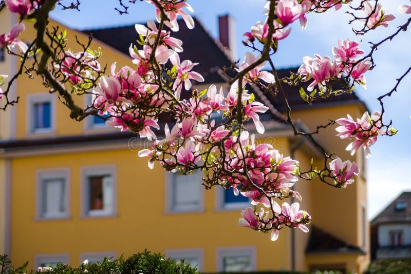 Schöne rosa Magnolie auf gelbem Haushintergrund lizenzfreies stockfoto