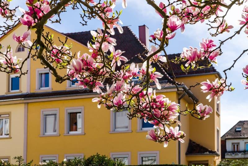 Schöne rosa Magnolie auf gelbem Haushintergrund lizenzfreie stockfotos