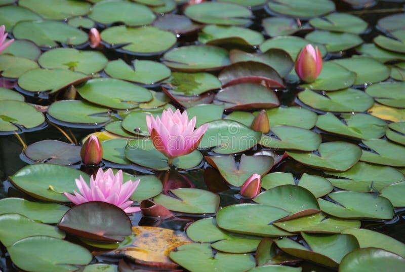 Schöne rosa nenuphars auf dem See stockbild