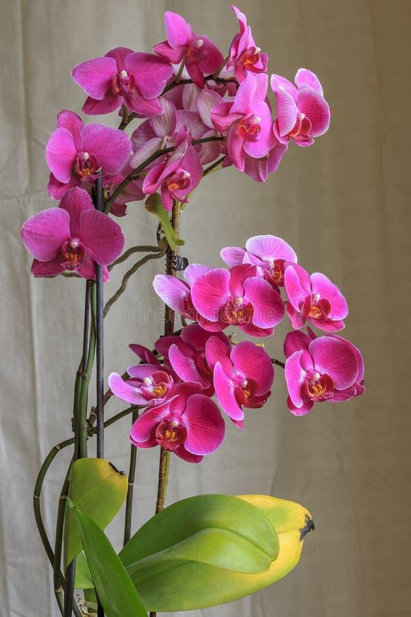 Schöne rosa Orchidee stockfotografie