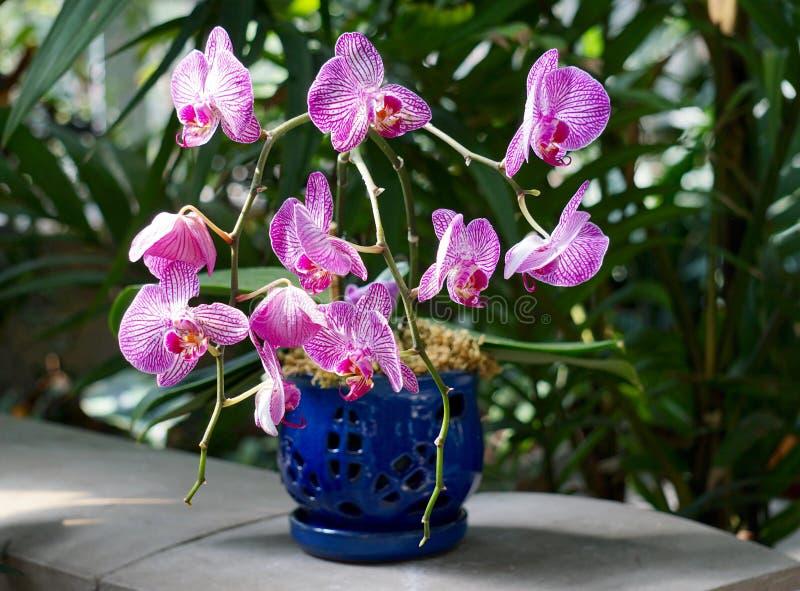 Schöne rosa Orchidee in einem blauen Topf stockfoto