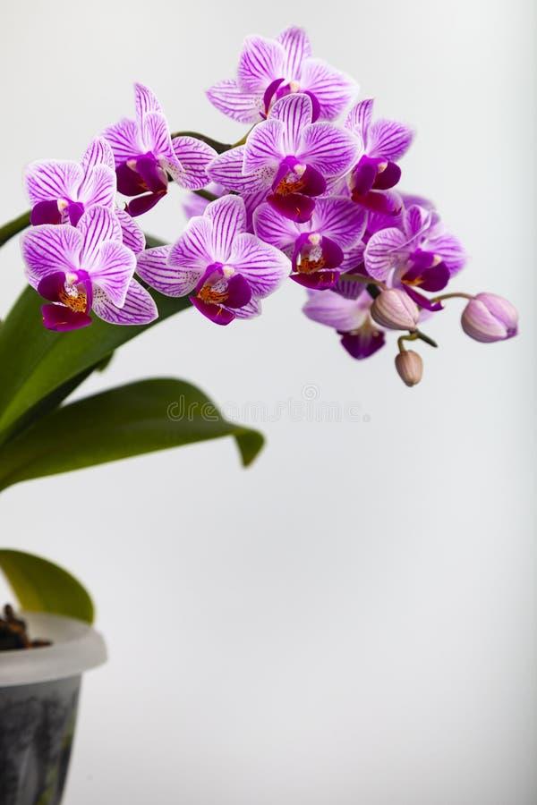 Schöne rosa Orchidee in einem Topf stockfoto
