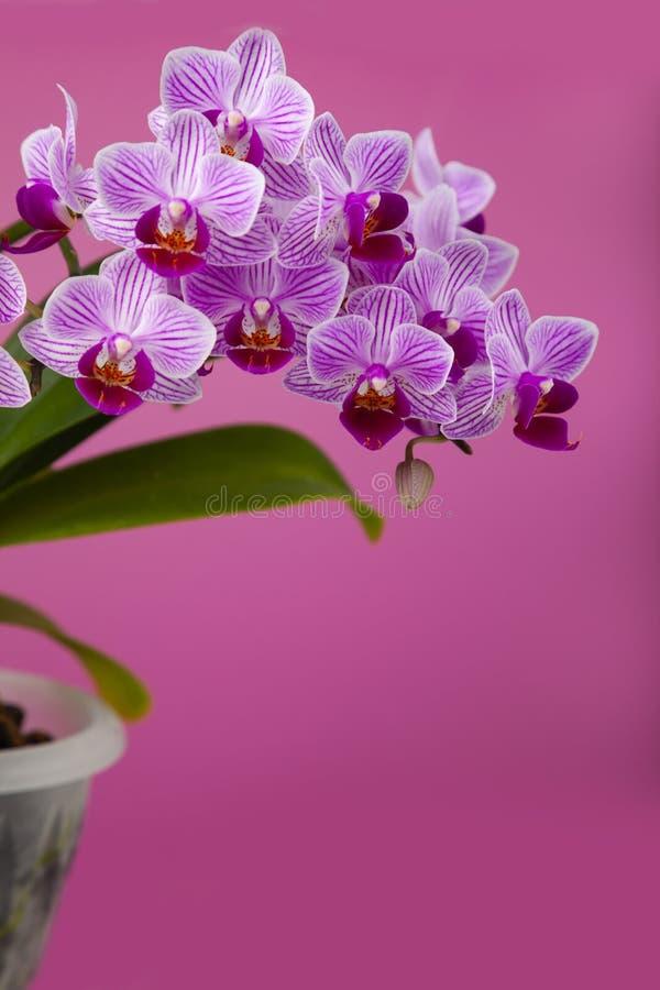 Schöne rosa Orchidee in einem Topf lizenzfreies stockfoto