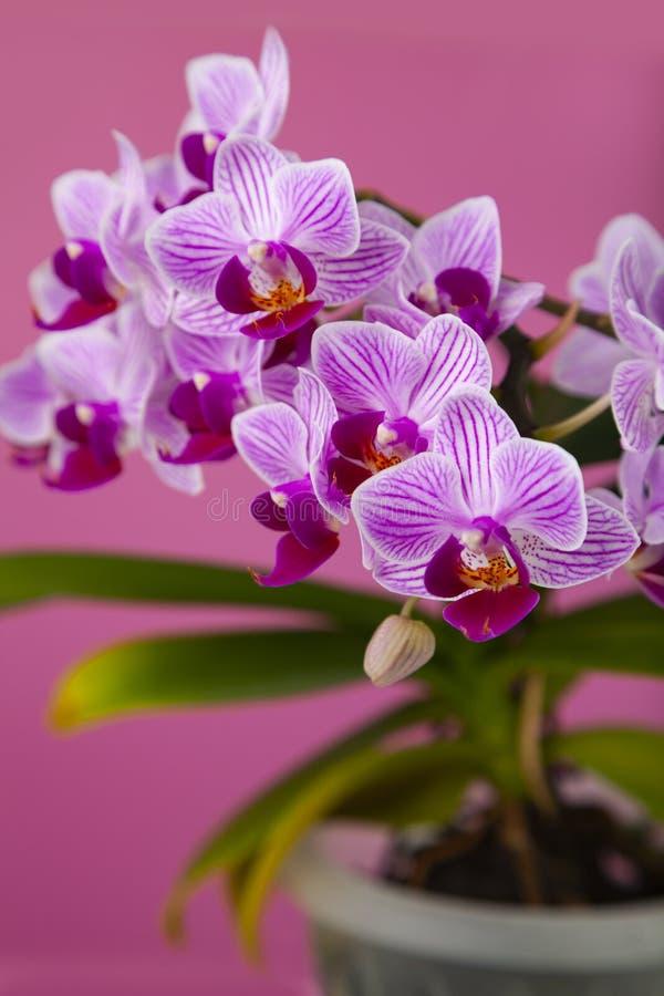 Schöne rosa Orchidee in einem Topf lizenzfreie stockfotografie