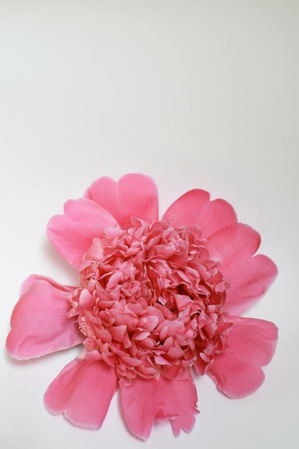Schöne rosa Pfingstrosenblume auf Weiß stockfotografie
