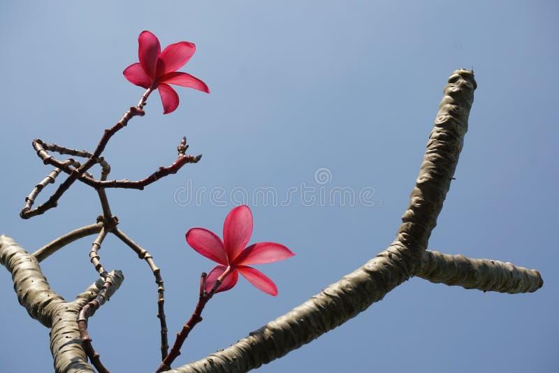 Schöne rosa Plumeriablume im Garten stockfotos