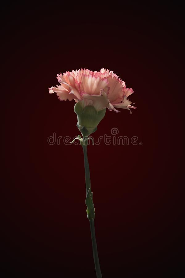 Schöne rosa purpurrote Gartennelkenblume stockbilder