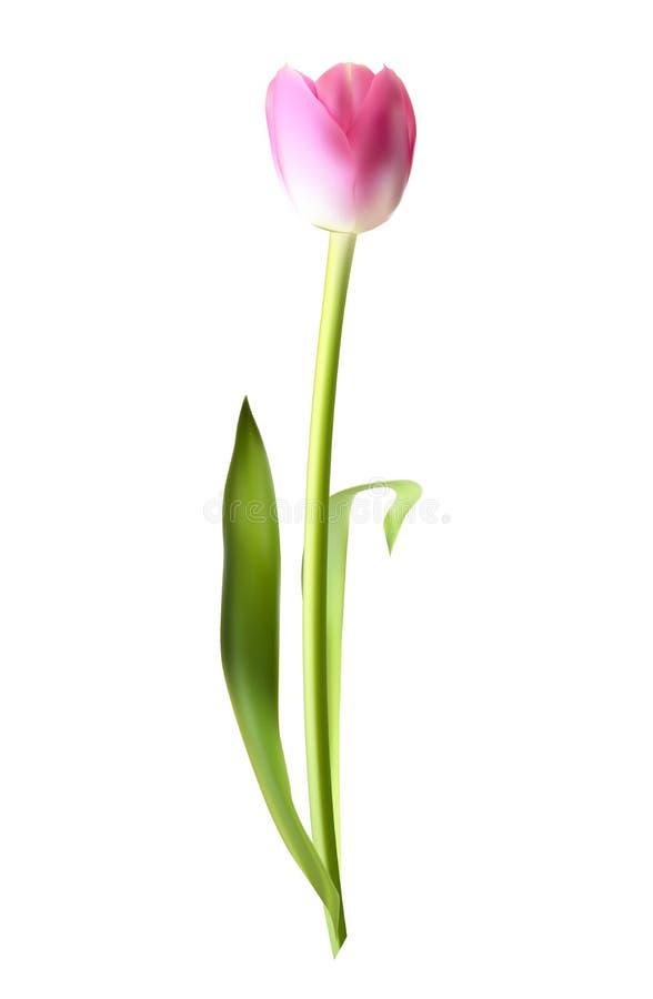 Schöne rosa realistische Tulip Vector Illustration lizenzfreie abbildung