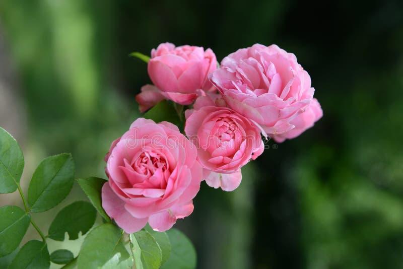 Schöne rosa Rosen stockbild