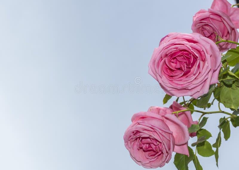 Schöne rosa Rosen blühen im Garten Rose, Blumenhintergrund, den Rosen Beschaffenheit blühen lizenzfreies stockbild