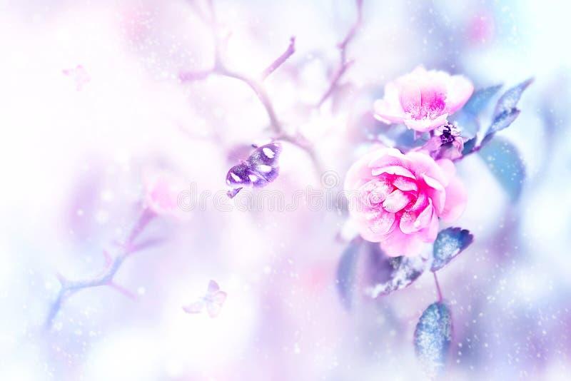 Schöne rosa Rosen und Schmetterlinge im Schnee und Frost auf einem blauen und rosa Hintergrund snowing Natürliches Bild des künst stockfotos