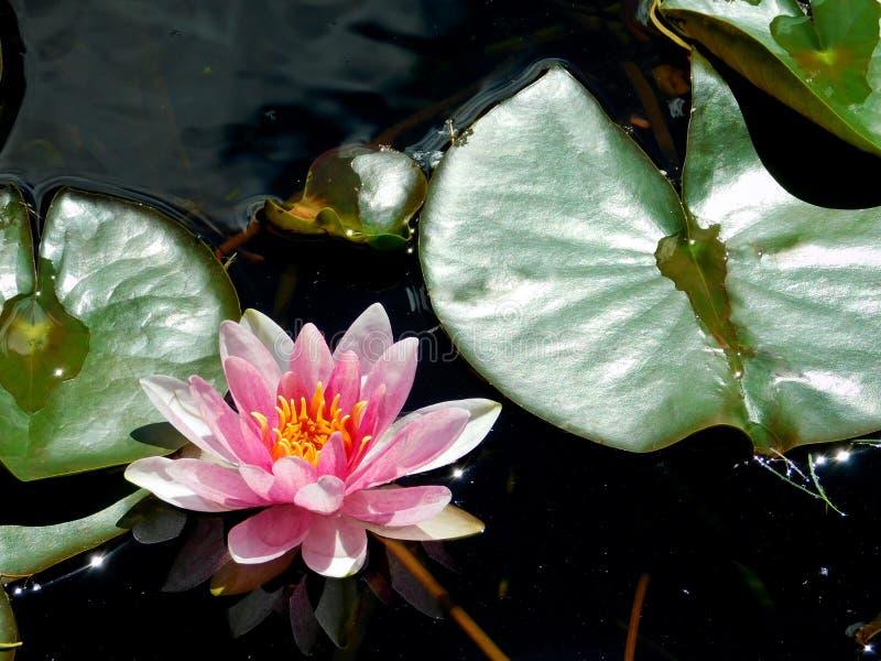 Schöne rosa Seerose stockfoto