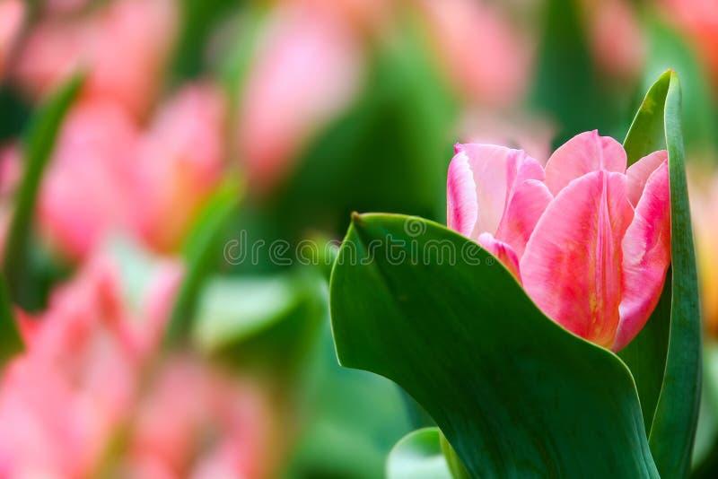 Schöne rosa Tulpe auf einem Gebiet, das zwischen Blättern sich versteckt lizenzfreies stockfoto