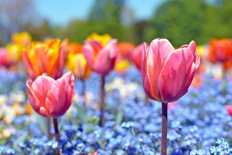 Schöne rosa Tulpe in der Mitte des Feldes mit bunten blauen Frühlingsblumen auf undeutlichem Hintergrund lizenzfreies stockfoto