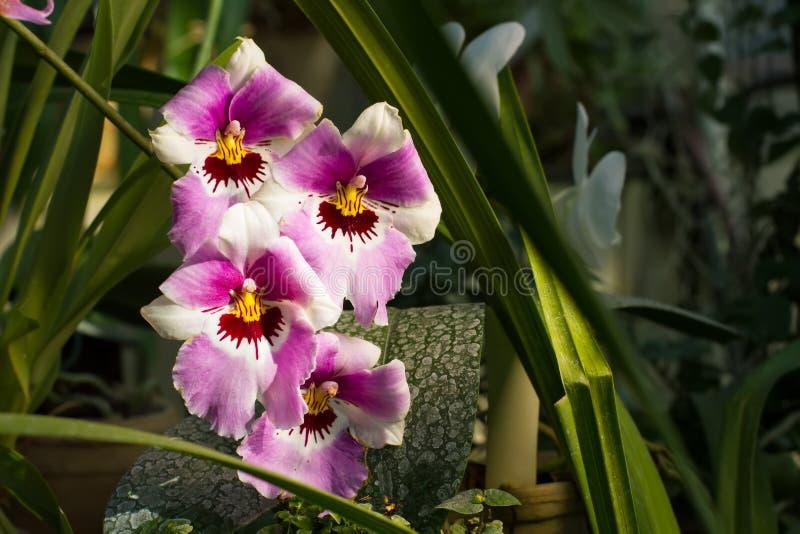 Schöne rosa und weiße Orchidee mit gelber Mitte stockfoto