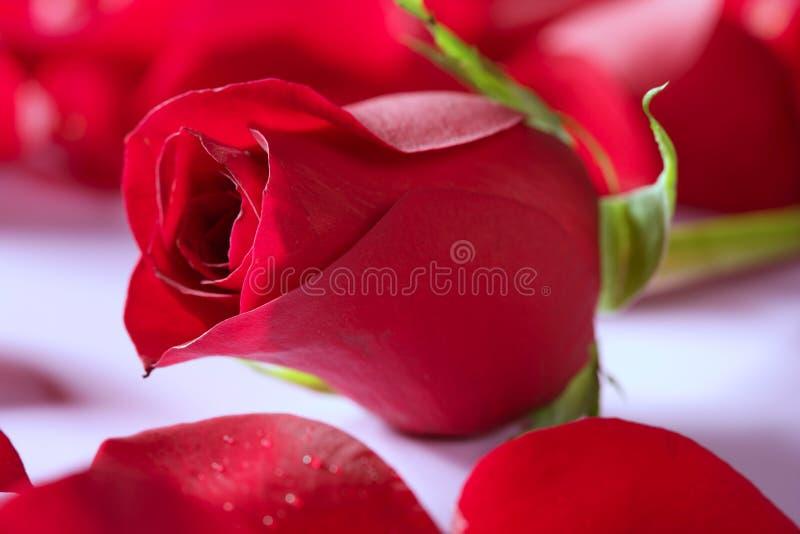 Schöne rosafarbene Blume über roten Blumenblättern stockbild