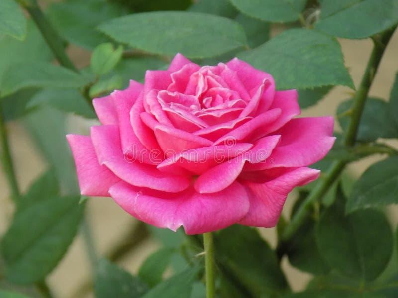 Schöne rosafarbene Blume stockbild