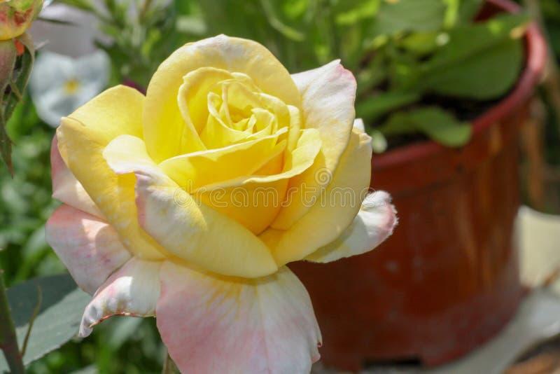 Schöne rosafarbene Blume lizenzfreie stockfotos