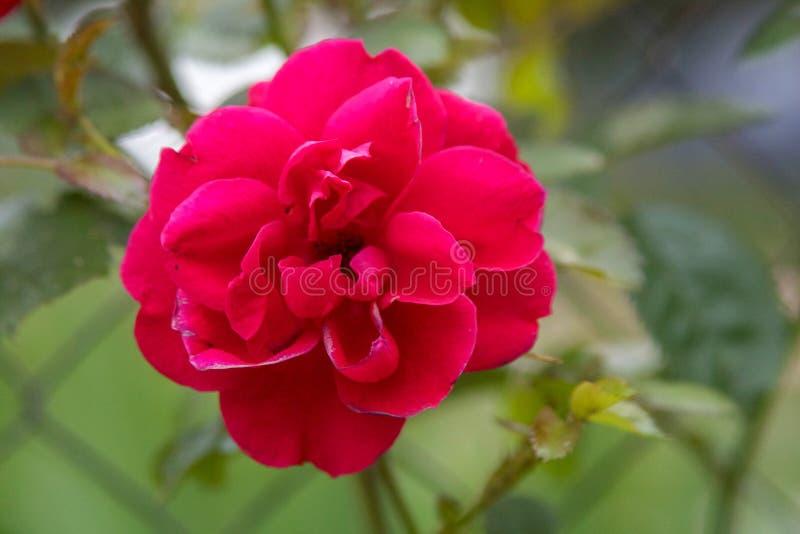 Schöne rosafarbene Blume stockfoto