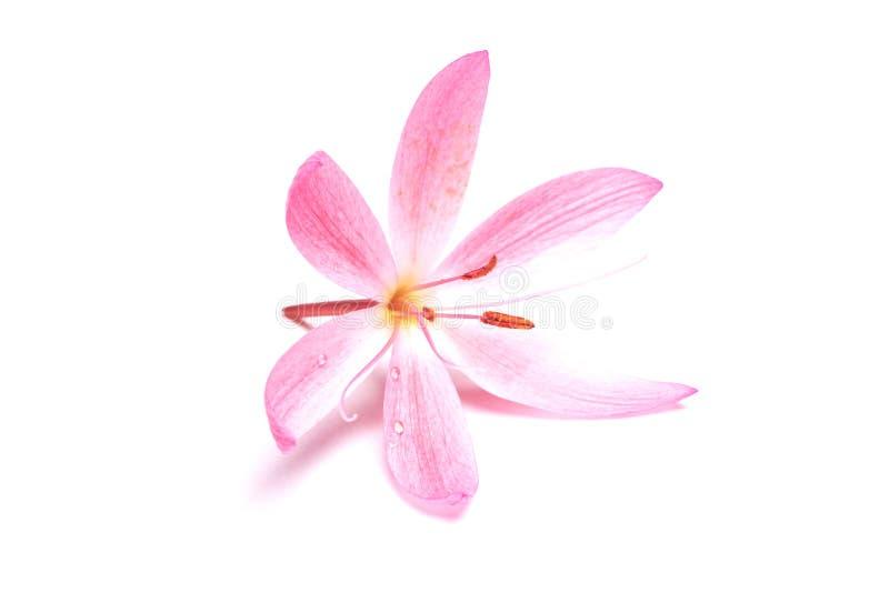 Schöne rosafarbene Blume lizenzfreie stockfotografie