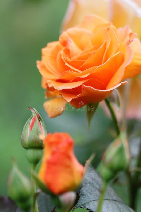 Schöne rosafarbene Blume im Garten lizenzfreie stockbilder