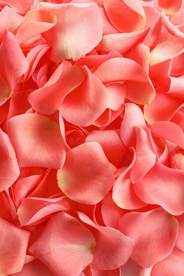 Schöne rosafarbene Blumenblätter stockbild