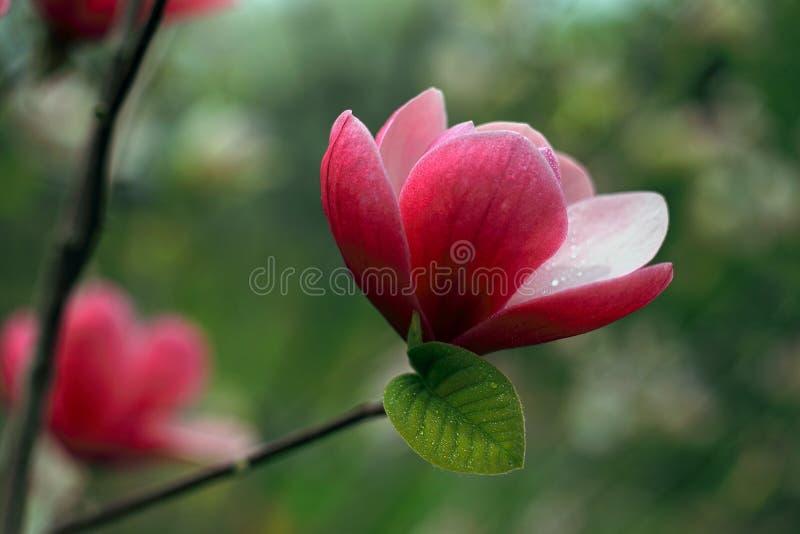 Schöne rosafarbene Magnolie-Blumen stockbilder