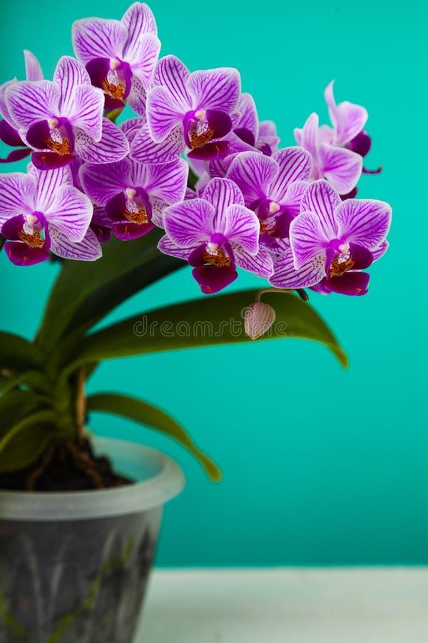 Schöne rosafarbene Orchidee-Nahaufnahme stockfoto