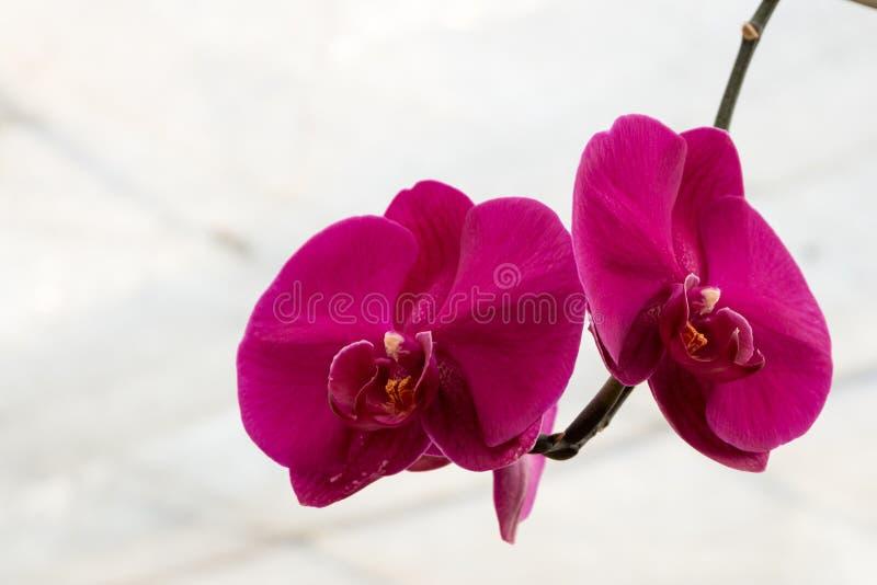Schöne rosafarbene Orchideeblume Natürlicher Farbhintergrund lizenzfreies stockfoto