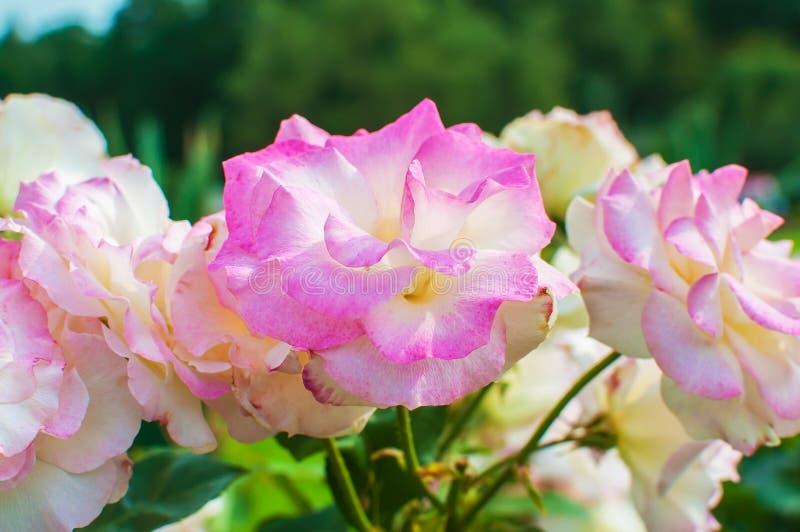 Schöne Rosarose blüht im Peterhof-Palastgarten St Petersburg, Russland stockfoto