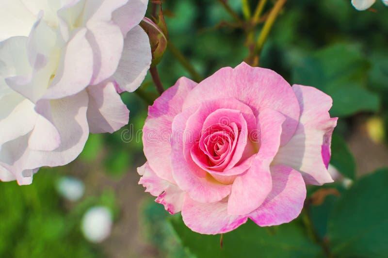 Schöne Rosarose blüht im Peterhof-Palastgarten St Petersburg, Russland lizenzfreie stockfotos