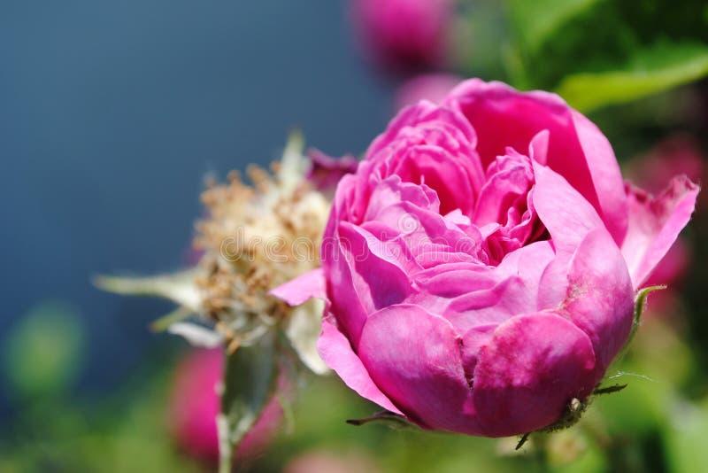 Schöne Rosarose in der Knospe, rosafarbene Nahaufnahme lizenzfreies stockfoto