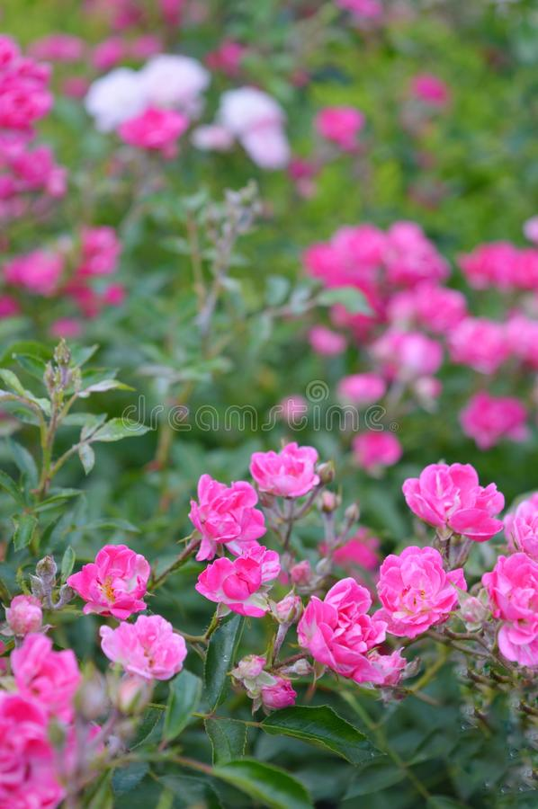 Schöne Rosarose im Garten stockbilder