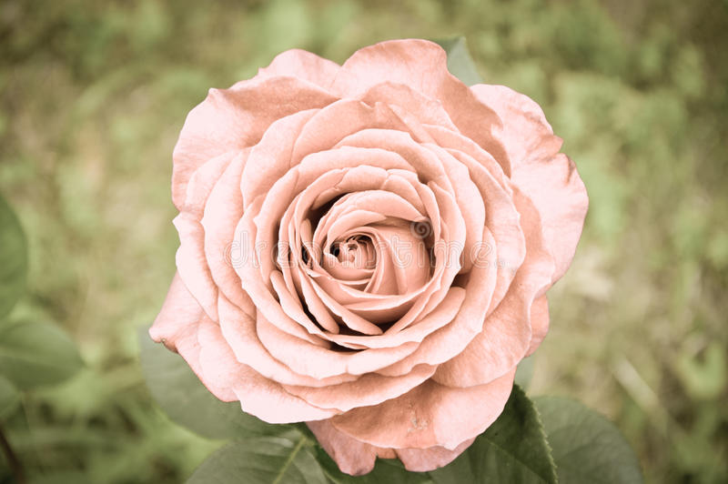 Schöne Rose stockfotografie