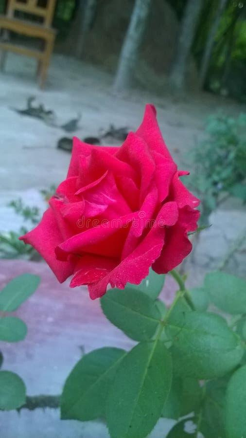 Schöne Rose lizenzfreie stockfotos
