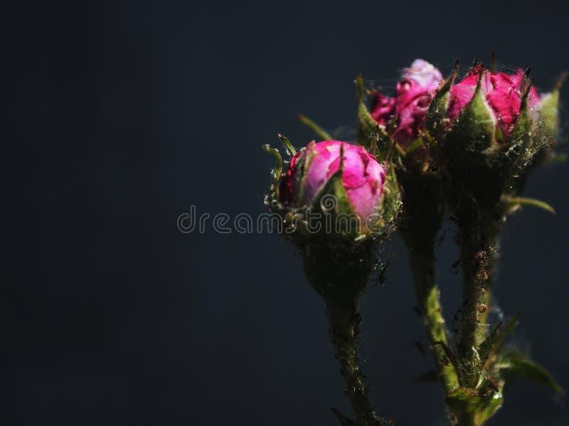 Schöne Rosen auf einem dunklen Hintergrund, Rosen in der Knospe stockbild