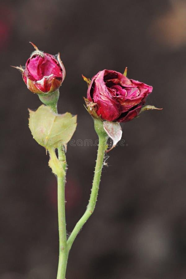 Schöne Rosen auf undeutlichem Hintergrund im Park stockbild