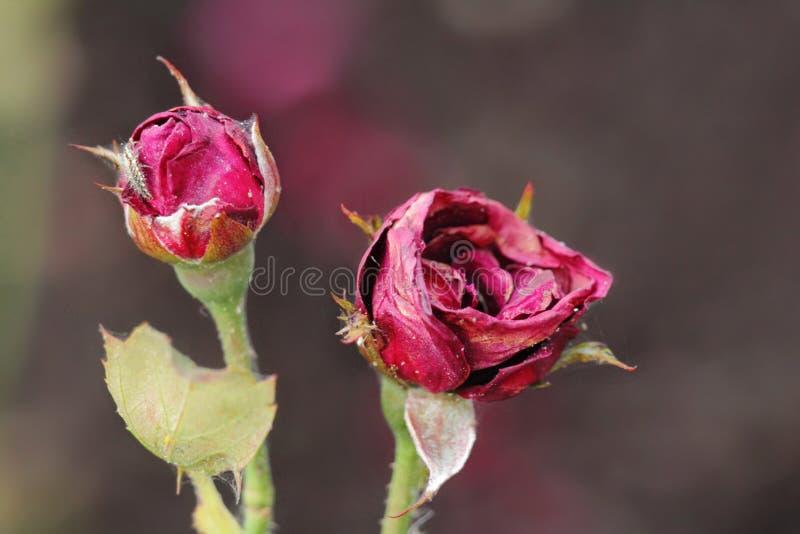 Schöne Rosen auf undeutlichem Hintergrund im Park lizenzfreie stockfotografie
