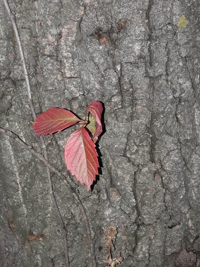 schöne rote Blätter sind auf grauer und alter Baumrinde gewachsen stockbild