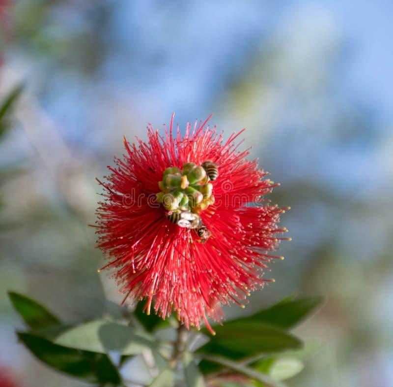 Schöne rote Blume mit zwei Bienen, die Honig suchen stockfotos