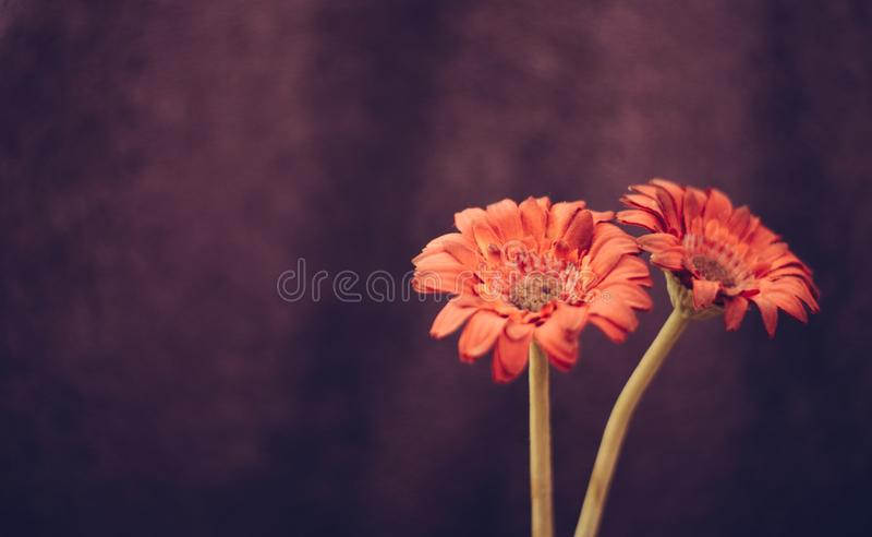 Schöne rote Blumen auf purpurrotem bacground stockfotografie