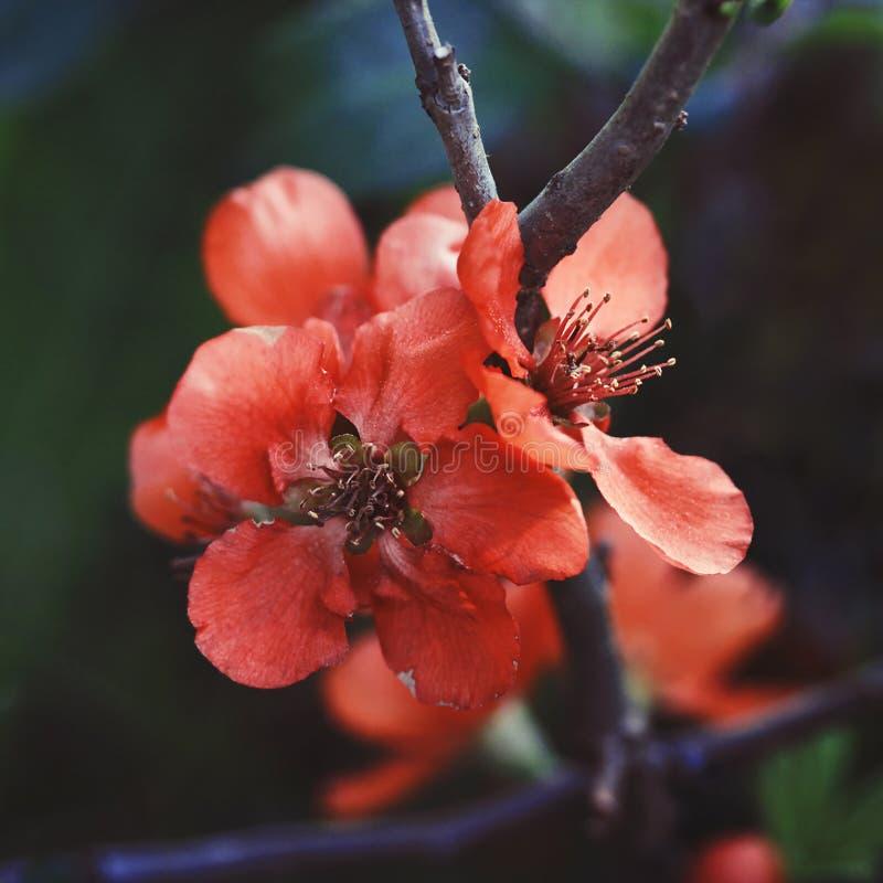 Schöne rote Blumen Quitte, KöniginApple, Apfelquitte auf dunkelgrünem Hintergrund Nützlicher dekorativer Obstbaum Nahaufnahmemakr lizenzfreies stockbild