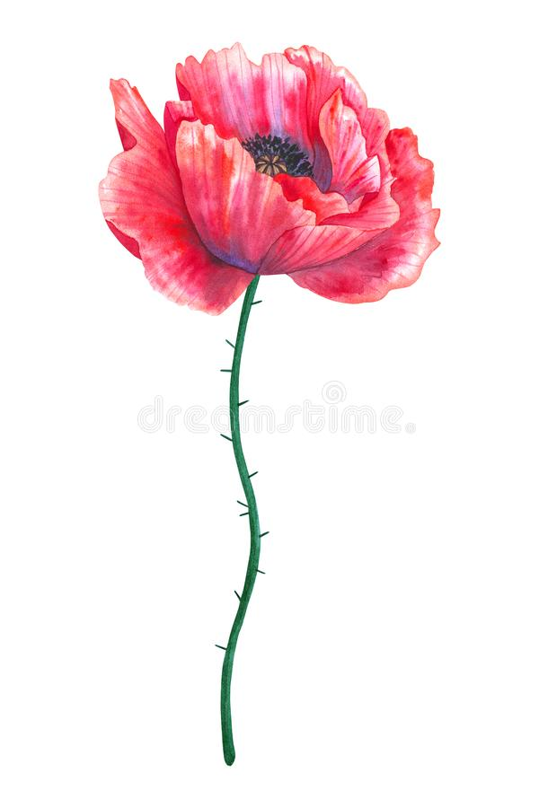 Schöne rote Blumenmohnblume Hand gezeichnete Aquarellillustration Getrennt auf wei?em Hintergrund lizenzfreie stockfotografie