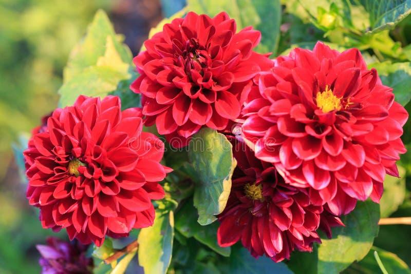 Schöne rote Dahlienblume im Garten, Dahlien im Garten im Sommer oder Herbst lizenzfreies stockbild
